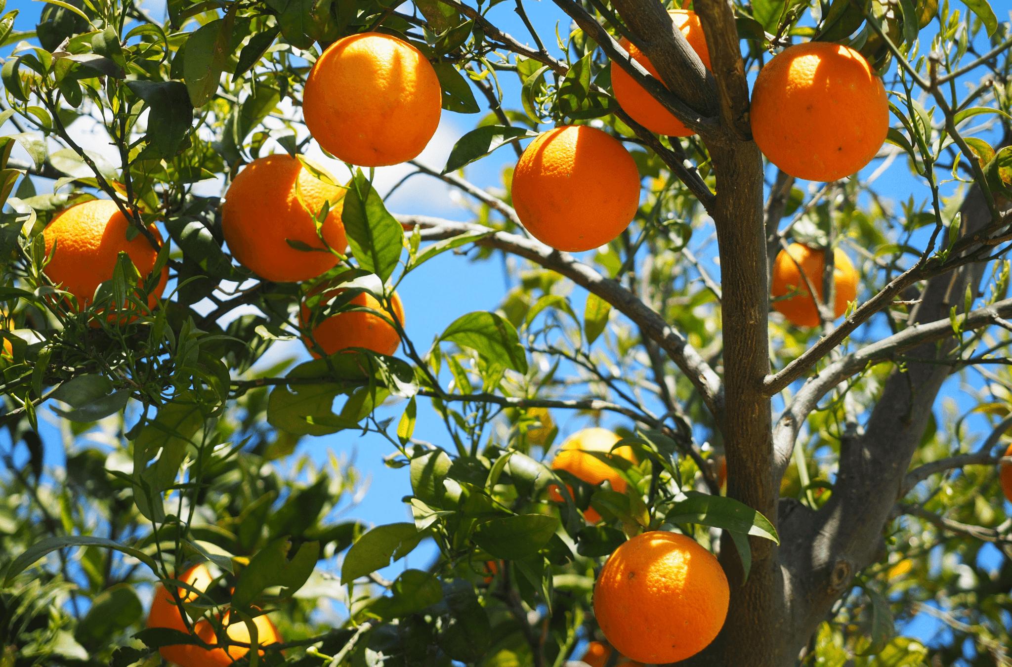 Citrusvruchten veganistisch